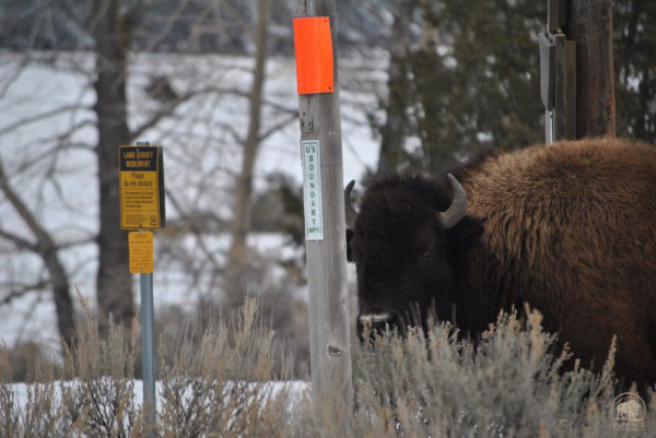 First Buffalo to Enter Montana Met with Gunfire